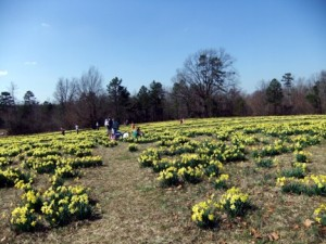 Daffodil Wye Mt 1