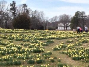 Wye Mountain Daffodils 2013