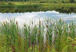 Pond with willows and cattails 3