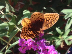 Butterfly, Arkansas state Fritillary