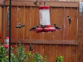 Hummingbirds 5