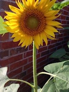 Sunflower in courtyard