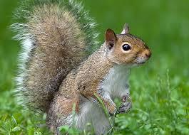 Squirrel, Grey