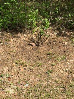 Jeremy's rose bush 2
